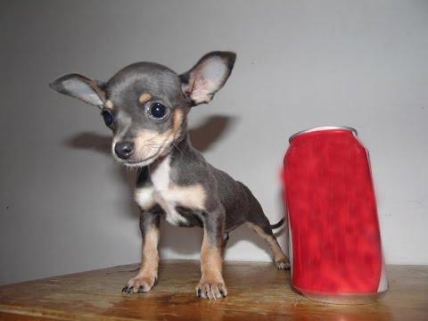 Chihuahua Azul en Venta – Mini Toy, Bolsillo, Teacup, Tacita, Mini, Micro