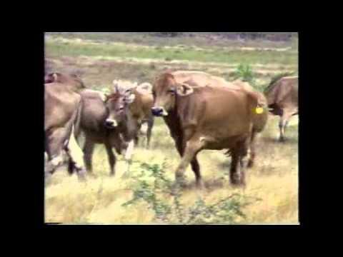 caracteristicas productivas y zootecnicas de principales razas de bovinos parte 1