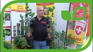 Kakibaum kaufen, veredelt im 5 Liter Topf
