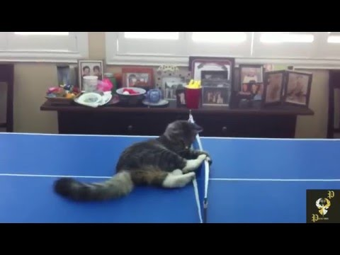 CATS PLAYING PING PONG!