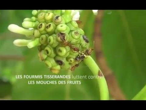 Les fourmis tisserandes luttent contre les mouches des fruits