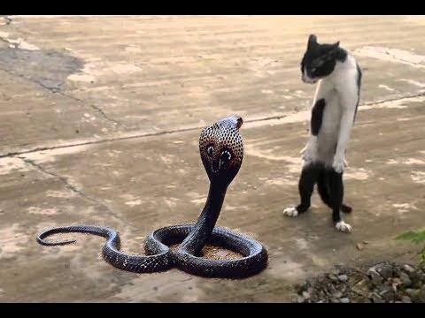 haivl  mèo với rắn hổ mang con nào sẽ thắng  :d  - haivl