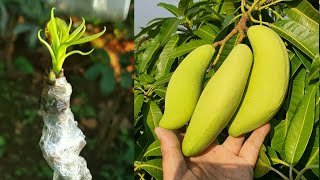 Download Video CARA BUAT MANGGA KERDIL CEPAT BERBUAH /mini GRAFTING MP3 3GP MP4