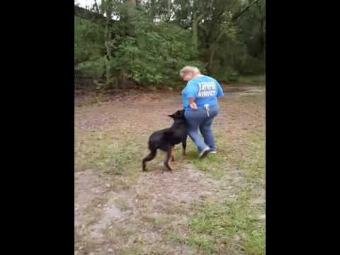 ARC Beaucerons - Trey working obedience