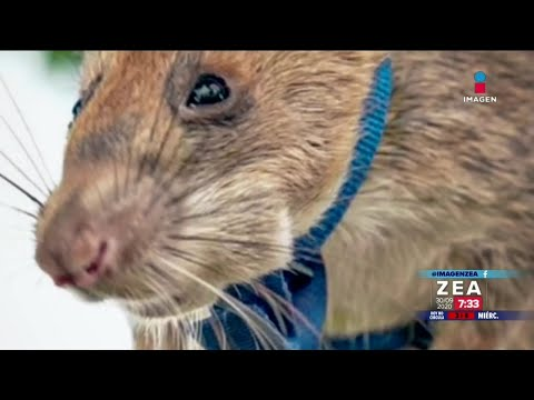 Premian a rata gigante africana detectora de minas   Noticias con Francisco Zea