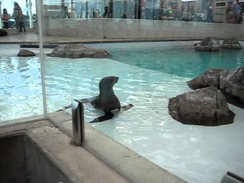 Screaming Seal Sounds Like A Man