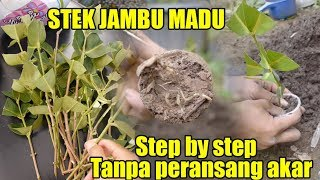 Video Cara stek jambu madu tanpa peransang akar beserta hasil jadinya by kok ka lai MP3, 3GP, MP4, WEBM, AVI, FLV Desember 2018