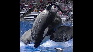 Video Tilikum barges into Gate #1 - Aug 14 2015 - SeaWorld Orlando MP3, 3GP, MP4, WEBM, AVI, FLV Juni 2019