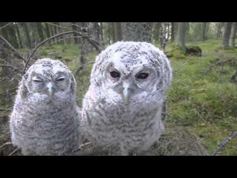 偷拍貓頭鷹睡覺,他們竟然跟著鏡頭扭動,網友表示:快被玩壞了XD