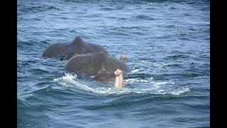 Deux jeunes éléphants ont été sauvés de la noyade dimanche alors qu'ils se trouvaient en pleine mer, au Sri Lanka. Les deux pachydermes ont été ramenés ...
