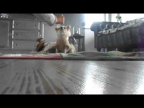 CHIHUAHUA DOG TRAINING
