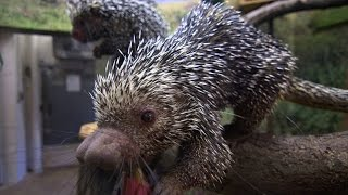 Can a Porcupine Shoot Its Quills?