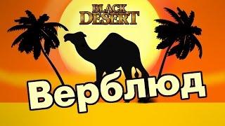 Black Desert (RU) - Верблюд. Новый друг )