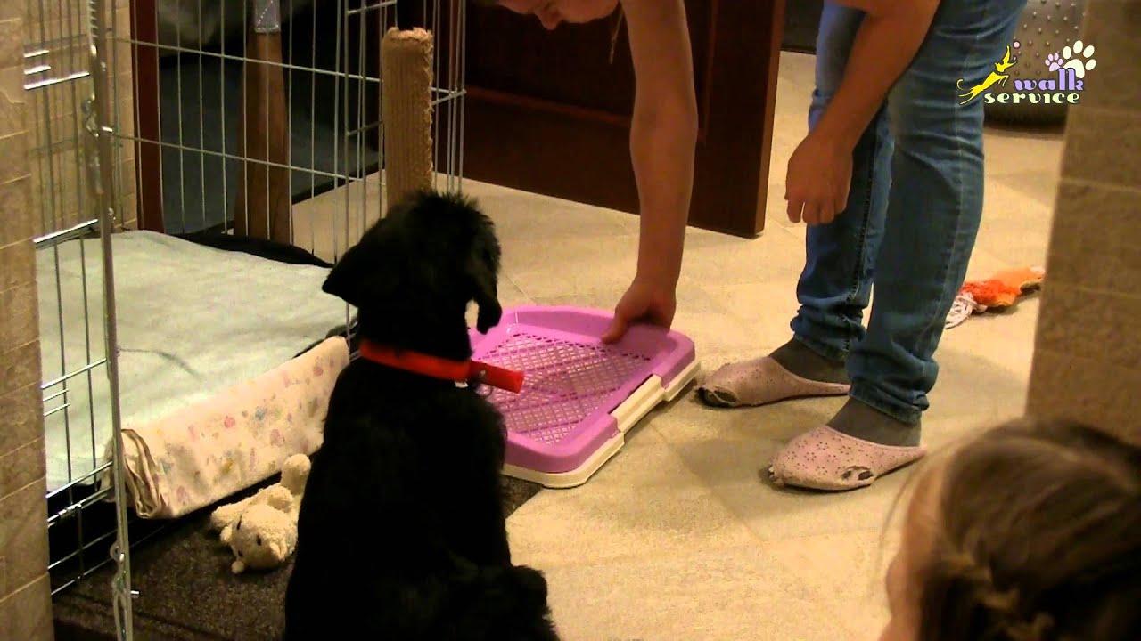 Смотреть онлайн уроки дрессуры: Как сделать туалет для щенка и как приучить к нему