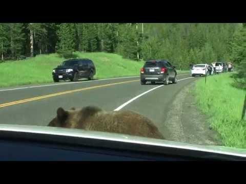 Yellowstone: Grizzly curioso spia nella macchina dei turisti