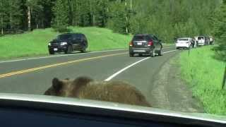 "Video Yellowstone Grizzly Bear - ""Attacks"" Car MP3, 3GP, MP4, WEBM, AVI, FLV Agustus 2019"