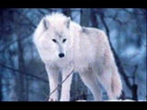 белая волчица видео