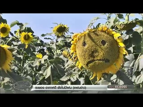 เจ้าของไร่ทานตะวันเขาใหญ่ โอดเหตุ นทท.สลักชื่อบนดอก ชี้ห้ามแล้วแต่บางรายยังฝ่าฝืน