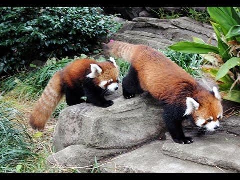 レッサーパンダの赤ちゃんお披露目