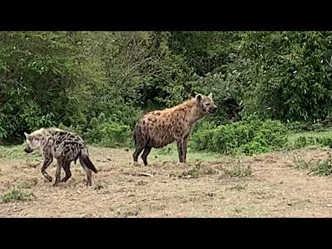 Hyenas Gather to Steal Lion Kill