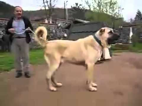 Kurt vs Kangal - Turkish Shepherd Dog Kangals are accompanied the Oghuz Turks, fleeing from Genghis Khan as working dogs on their long journey from Central Asia to Anatolia i...