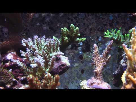 540 SPS Saltvann korallrev på Selbak (видео)