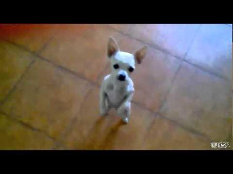 Cool dancing chihuahua:-)