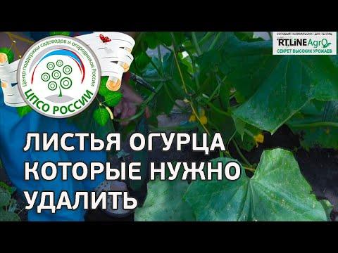 Удаление листьев огурца. Формирование огурца в период активного плодоношения.