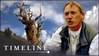 Video Oldest Tree On Earth: The Curse Of The Methuselah Tree (Nature History Documentary) | Timeline MP3, 3GP, MP4, WEBM, AVI, FLV Juli 2018