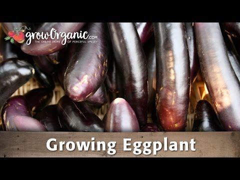 Growing Organic Eggplant