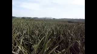 Manolo Fortich Philippines  city pictures gallery : Del Monte Pineapple Plantation in Manolo Fortich , Bukidnon