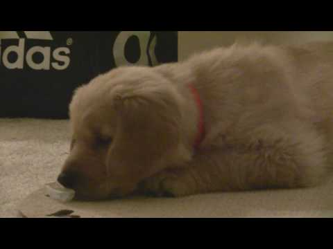 Carter – my new dog, golden retriever