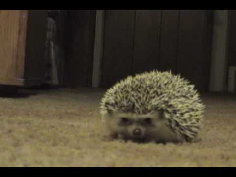 hedgehog reacts to farts