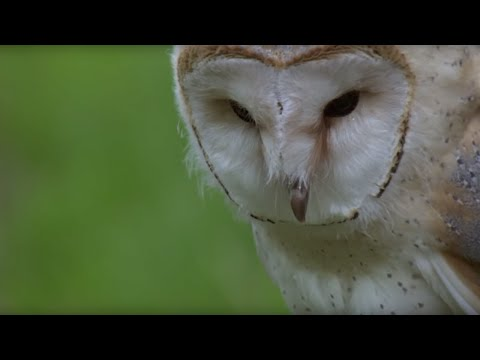 Barn Owl Learns How To Fly - Super Powered Owls - BBC