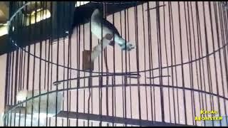 Download Video Ciblek Kristal Gacor Cocok untuk Memancing Bunyi burung bahan   Yenkuro Losari Enterprise MP3 3GP MP4