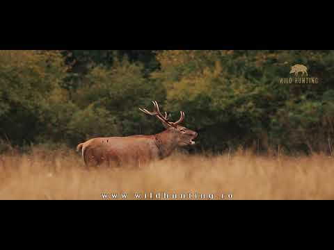 Red Stag - Wild Hunting Romania