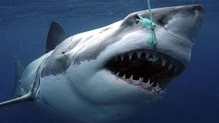 Video Sharks : Scavengers of the Seas - Documentary download in MP3, 3GP, MP4, WEBM, AVI, FLV January 2017