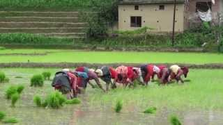 Video Cultivation of Rice in Nepal,  Part-1 .. HD MP3, 3GP, MP4, WEBM, AVI, FLV Juli 2018