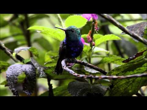 Violet-bellied Hummingbird - Colibri de Julie