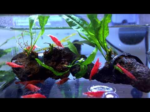 [HD] レッドファイアーシュリンプ 赤い、赤いぞ! Red fire shrimp