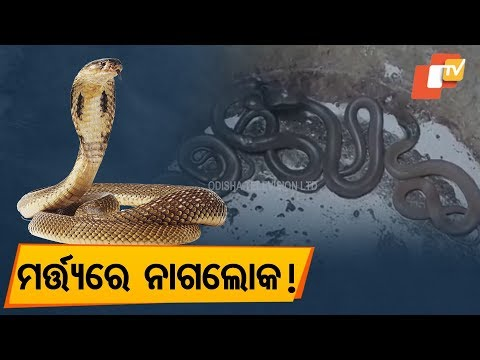 Video Indian Cobra snakes recovered in Bhadrak download in MP3, 3GP, MP4, WEBM, AVI, FLV January 2017