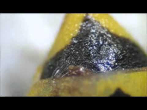 Host-Parasitoid Associations in Strepsiptera: Supplemental Video 2