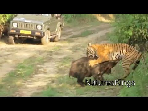 wild - Watch as this young female tiger attacks a wild boar in an intense battle at Jim Corbett National Park, India. The boar narrowly escapes.