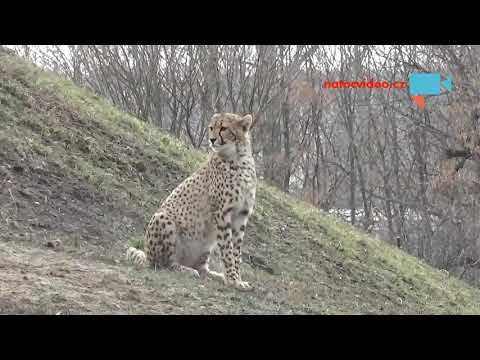Gepardi v ZOO Praha
