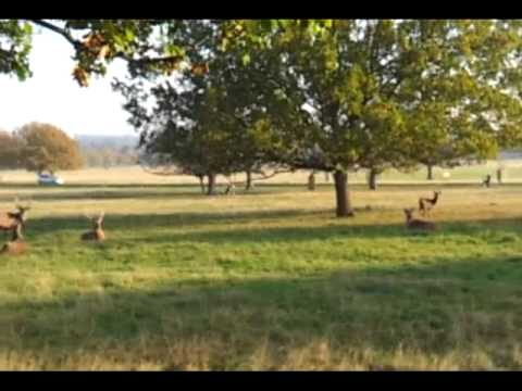 Dog Chasing Deer In Richmond Park