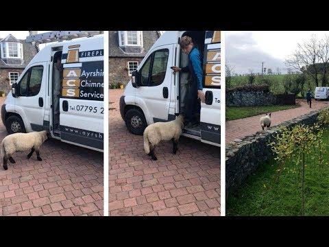 Video - Πρόβατο κυνηγά... άνθρωπο