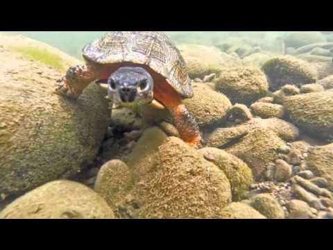 Glyptemys insculpta - American Wood Turtle Underwater Close Up