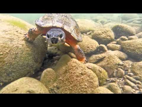 Glyptemys insculpta - American Wood Turtle Underwater Close Up