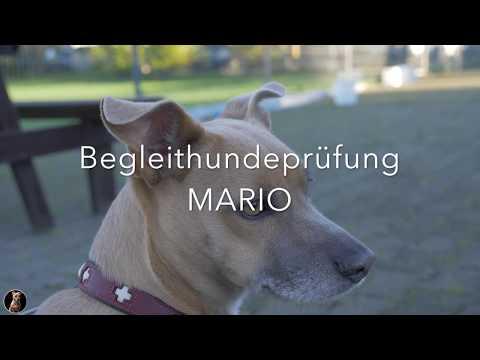 Begleithundeprüfung (BH) 2017 - aktuelle PO ! 🐕 Laufschema, Bewertung & Verkehrsteil (видео)