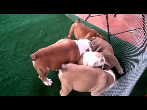 Vendita cuccioli di bulldog inglese